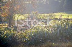 Morning Light on Harakeke (New Zealand Flax) royalty-free stock photo New Zealand Flax, Morning Light, Native Plants, Image Now, Light Up, Royalty Free Stock Photos, Photography, Beautiful, Maori