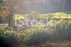 Morning Light on Harakeke (New Zealand Flax) royalty-free stock photo