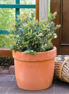 Your garden could look beautiful with BrazelBerries Pink Icing Blueberry spring foliage @brazelberries #gardentrends