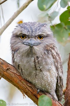 ~~Tawny Frogmouth - The Tawny Frogmouth (Podargus strigoides) is an Australian species of frogmouth, a type of bird found throughout the Australian mainland,Tasmania and southern New Guinea. The Tawny Frogmouth is often mistaken for an owl. Beautiful Owl, Animals Beautiful, Pretty Birds, Love Birds, Funny Animals, Cute Animals, Owl Pictures, Australian Animals, Owl Bird