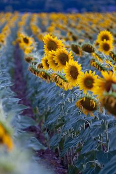 The leading source of specialist plant & garden photographers, showcasing the work of over 100 professional garden photographers Sunflower Garden, Sunflower Art, Sunflower Fields, Yellow Sunflower, Happy Flowers, Beautiful Flowers, Sun Flowers, Mother Earth, Mother Nature