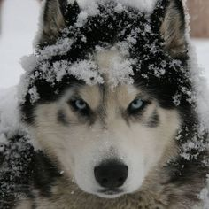 Perfect Husky Capture, Do you like? :) Love Huskys? Visit us: HuskyFanWorld.Com #Huskylove #Huskylover #Huskylovers
