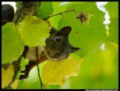 Red Squirrel - 1 by Dan Harrod, via Flickr