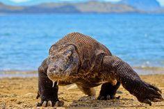コモドオオトカゲ (インドネシアの世界遺産) コモドオオトカゲです。コモドドラゴンとも言います。主にイノシシやシカなどを食べますが、鳥類やその卵、爬虫類やその卵、昆虫、動物の死骸なども食べるます。