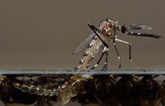 Millions of genetically modified mosquitoes could be released in the Florida Keys-AP