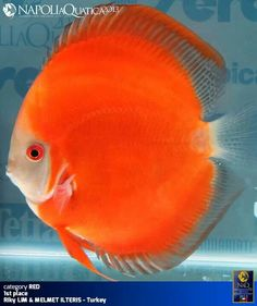 Freshwater Fish - Find incredible deals on Freshwater Fish and Freshwater Fish accessories. Let us show you how to save money on Freshwater Fish NOW! Discus Tank, Discus Fish, Fish Tank, Underwater Animals, Underwater Creatures, Ocean Creatures, Colorful Animals, Colorful Fish, Tropical Fish