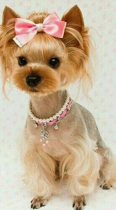 Haircut Style, Yorkies, Yorkie Puppies, Pet, Dog Haircuts, Cute Yorkie  Haircuts, Yorkie Haircuts Female, Yorkie Hairstyles, Knots