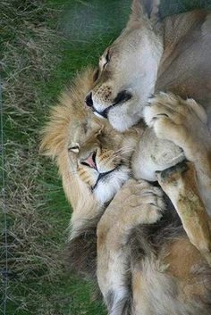 """A Lion Couple: """"Life is so beautiful, when you have the right partner to share… Big Cats, Cats And Kittens, Cute Cats, Siamese Cats, Kitty Cats, Funny Cats, Beautiful Cats, Animals Beautiful, Animals And Pets"""