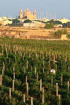 The people of Malta drink almost all their country's modest wine output. A trickle makes it to England and Italy, and none is shipped to the United States.