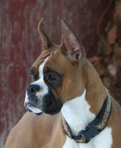 Awesome boxer dogs info is offered on our site. Read more and you wont be sorry you did. Boxer Dogs Facts, Dog Facts, Boxer Puppies, Coyotes, Best Dog Breeds, Best Dogs, Dog Photos, Dog Pictures, Animals Beautiful