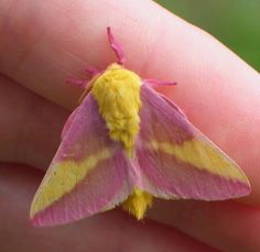 The Rosy Maple Moth (Dryocampa rubicunda) is a North American moth in the Saturniidae family. Description from imgarcade.com. I searched for this on bing.com/images