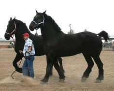 Big Draft Horses