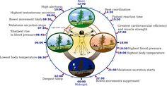 http://tusaludpuravida.blogspot.com.es/2013/09/conoce-el-reloj-biologico-chino-para.html