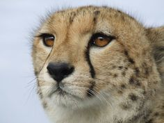 A juvenile male cheetah enjoys the view from the hood of our research vehicle.