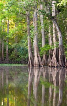 ✮ Cypress Trees- Hillsborough River runs through Downtown Tampa