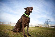Beautiful chocolate lab, photo Dog Breath Photography