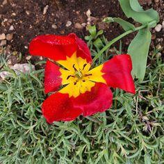 #tulipano sfiorito (come il mio neurone in questo istante).