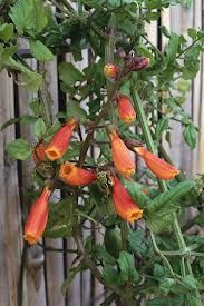 Irresistible to hummingbirds, Chilean glory flower is a fast-growing evergreen that offers a profusion of red-orange tubular flowers tipped with yellow from late spring to fall. The light green leaves are small and boldly veined on this climber. Flowers Hummingbirds Like, Plants To Attract Hummingbirds, Butterfly Plants, Butterflies, Sun Plants, Blooming Plants, Tall Plants, Desert Plants, Hummingbird Flowers