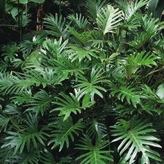Philodendron Xanadu Xanadu has large green leaves that gives this tropical plant a lush decorative appearance. Compact and tidy, it wont take over in the garden, and it is ideal for pots and containers. Can be grown inside in a brightly lit position. Outdoors it prefers a full sun position.