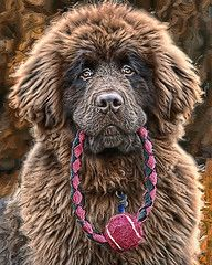 Newfoundland, commonly known as the gentle giant or the nanny dog is a breed from Canada.