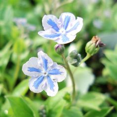 Omphalodes Cappadocica Starry Eyes I like it Blue Garden, Growing Flowers, Blue Flowers, Color Splash, Perennials, Venus, Bloom, Things To Come, Floral