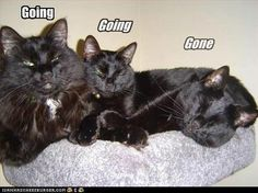 My three boys. Jinx (Norwegian Forest), Merlin (Bombay), and Salem (DSH). Cute Cats, Funny Cats, Funny Stuff, Three Cats, Paws And Claws, Cat Boarding, Picture Captions, Cat Life