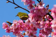 a Japanese white eye in sizuoka, japan