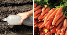 Korn, Carrots, Ale, Vegetables, Tips, Gardening, Drinks, Plant, Lawn And Garden