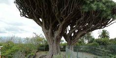 The Dragon Tree and the Holy Rain Tree #DragonTrees #CanaryIslands #Hercules   . _ Sponsored by #InternationalTravelReviews #RickStonekingSr - #Twitter @ IntlReviews - https://www.linkedin.com/in/internationaltravelreviews