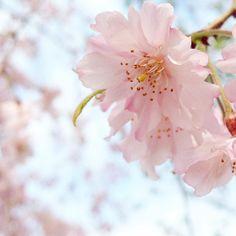 . . . #しだれ桜 #桜 . . . by mihoko_1225