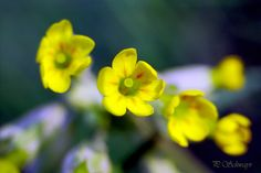 Schlüsselblume 🌼🌼🌼 kreativesbypetra Petra, Plants, Photos, Flowers, Pictures, Plant, Planets