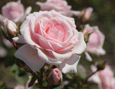 Rose Pink Diadem