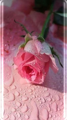 Raindrop Pink Rose Wallpaper