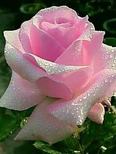 Beautiful Rose Flowers, Pretty Roses, Flowers Nature, Exotic Flowers, Amazing Flowers, My Flower, Flower Power, Beautiful Flowers, Tea Roses