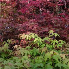 Bright colours of Japanese Maples. Available from www.ornamental-trees.co.uk