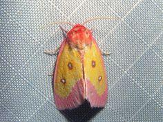 Pink Star Moth Derrima stellata