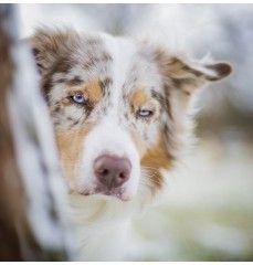 Hundeschule Dresden Kai Hartmann Australian Shepherd