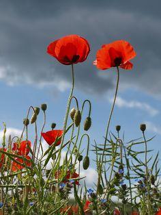 Poppies by Paula Bailey