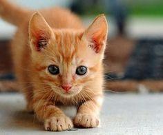 Ready..set... Ginger kitten #cats