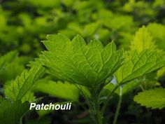 Patchouli oil used as aphrodisiac, depression and melancholy killer, treats skin conditions, acne, scars and skin cuts. Learn more here.