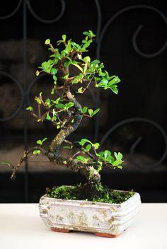Live Fukien Tea Tree Bonsai  Free Shipping  Nice Gift by 9GreenBox, $29.99