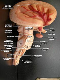"cross section Brain cross section "" Internal Structures "" Nerve Anatomy, Brain Anatomy, Medical Anatomy, Human Anatomy And Physiology, Anatomy Study, Nervous System Anatomy, Brain Models, Neurological System, Medicine Notes"