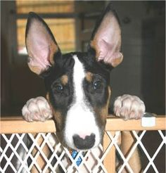 Ziggy, the 5 month old Bull Terrier
