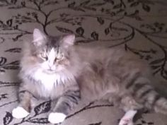 Petango.com – Meet 24459503, a 3 years Domestic Longhair / Mix available for adoption in TAMPA, FL