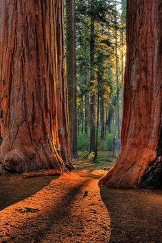 Giant Redwoods, California.   xoxo