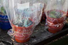 Covering cuttings with a plastic bag Herb Garden In Kitchen, Veg Garden, Garden Art, Garden Plants, House Plants, Growing Gardens, Growing Plants, How To Propagate Lavender, Essential Oil Carrier Oils