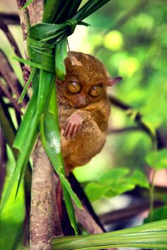 Slow Loris,Tarsier by inner thoughts.. Lol this was my ODS name. Tarsier.😂