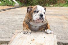 Filhote Bulldog Inglês