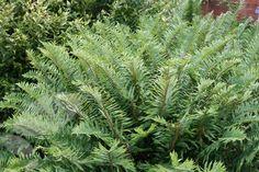 Sword fern Polystichum munitum - a luscious evergreen fern for all year foliage interest