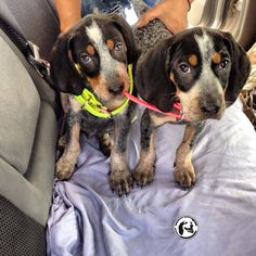 Bluetick coonhound pups.